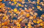 Autumn yellow foliage — Stock Photo