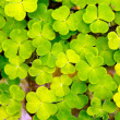 Lucky clover — Stock Photo #18945831