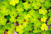 Lucky clover — Stock Photo