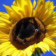 Big Sunflower — Stock Photo #20426871