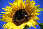 Big Sunflower — Stock Photo