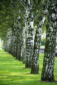 Birch avenue — Stock Photo