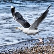 Seagull — Stock Photo #23457788