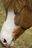 Iceland Pony — Stock Photo
