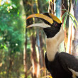 Great hornbill — Stock Photo #29881069