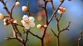 сакура вишни цветут в сад кэнрокуэн в канадзаве — Стоковое фото