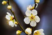 Sakura Cherry Blossom at Kenrokuen Garden in Kanazawa — 图库照片