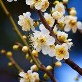 Sakura Cherry Blossom at Kenrokuen Garden in Kanazawa — Foto Stock