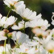 White Daisy — Stock Photo #30452549