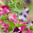 Stem of Blooming Petunia — Stock Photo