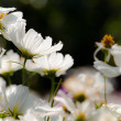 White Daisy — Stock Photo #30473673