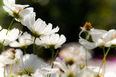White Daisy — Stockfoto