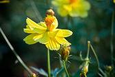 Gelbes gänseblümchen — Stockfoto