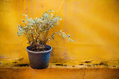 Dying Tree in a Black Plastic Pot — Stock Photo