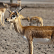 Black Buck — Stock Photo