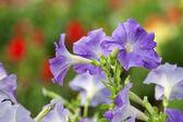 Purple Petunia — Stock Photo