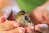 Sparrow on human hands — Stock Photo
