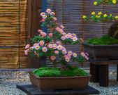 Japanese small bonsai tree in a garden — Stock Photo