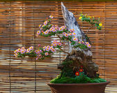 Japanese small bonsai tree in a garden — Foto Stock