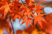 Red maple leaves in autumn — Stock Photo