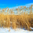 Dry reed on snow — Stock Photo #19748183