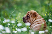 Beautiful redhead pei puppy — Stock Photo