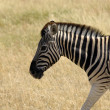 Wild zebras - Stock Photo