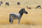 Zebras and deer — Stock Photo