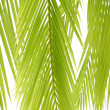 Green palm — Stock Photo #22550137