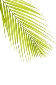Green palm — Stock Photo