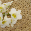 Branch white orchid  — Stock Photo