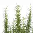 Fresh rosemary - Stock Photo