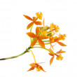 Branch Orange Orchid — Stock Photo