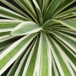 Plantation of Blue Agave cactus — Stock Photo