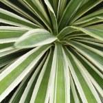 Plantation of Blue Agave cactus — Stock Photo