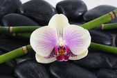 Orchid with bamboo grove on pebbles — Stock Photo