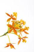 Branch orange orchid — Stock Photo