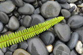 Green fern with pebbles — Stock Photo