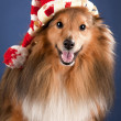 Sheltie with funny cap — Stock Photo