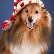Stock Photo: Sheltie with funny cap