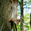 Squirrel coming down from the tree — Stok fotoğraf