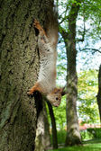 Squirrel coming down from the tree — Stock Photo