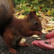 Squirrel eating with human hands — Stock Video