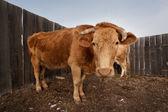 Rode koe — Stockfoto
