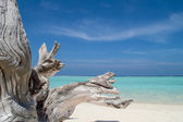 Tree Trunk on the Sandy Beach - Maldives — Stock Photo