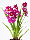 Violett orchids — Stock Photo