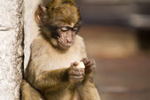 Baby Ape Eating — Stock Photo