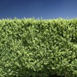 Hedge in front of blue sky — Stock Photo