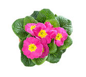 Primroses, Primula — Stock Photo