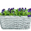 Sweet Pansies in Plait Basket - Front View — Stock Photo